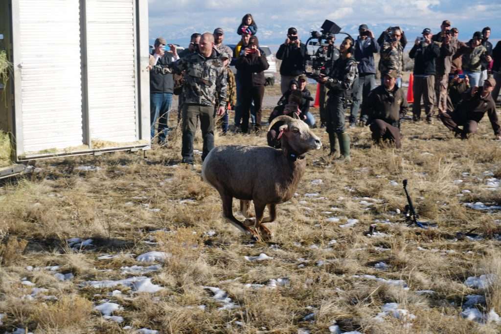 Antelope Island Bighorn Sheep